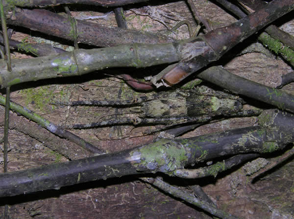 Bark Katydid Nymph, Camouflaged