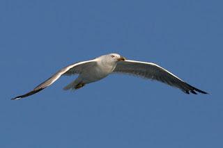 Gabbiano reale mediterraneo adulto in volo