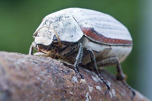 white beetle IMG_7020b copy