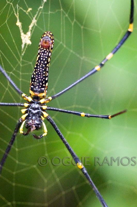 Maconacon Forest Carabao Spider III