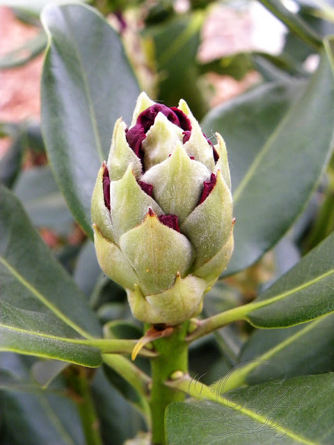 DSCN1261 Rhododendron bud
