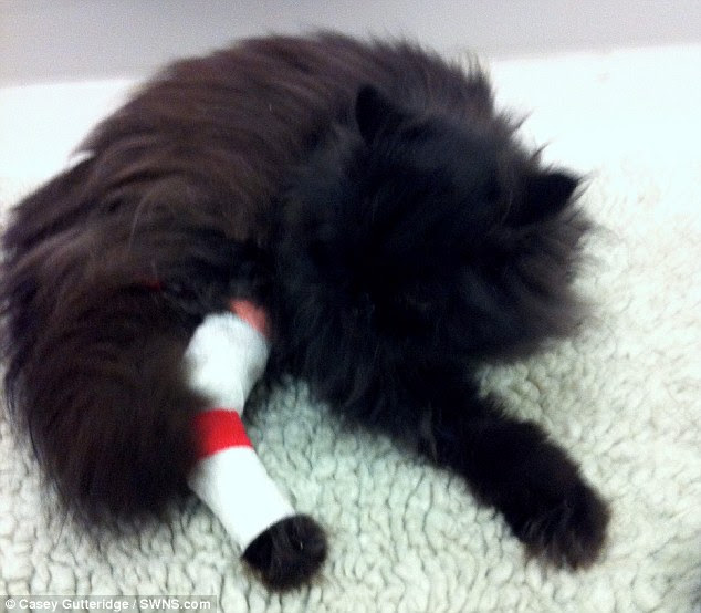 Pain: The unlucky moggie was forced to have his leg amputated recently, which left him with no limbs on one side