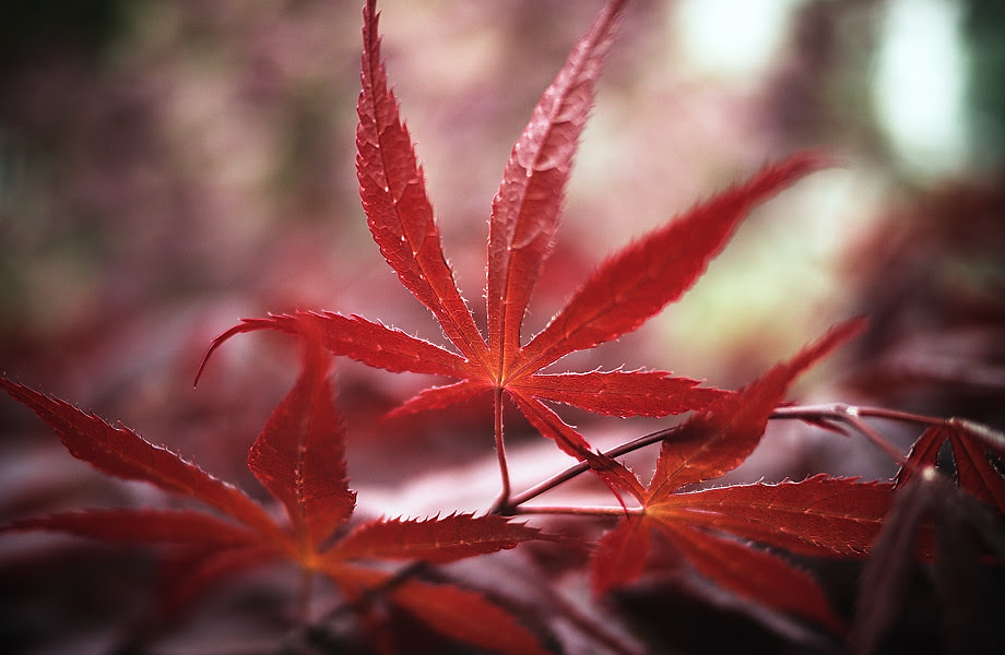 'acer palmatum 'sativa'' • qingdao, china    © marc montebello all rights reserved