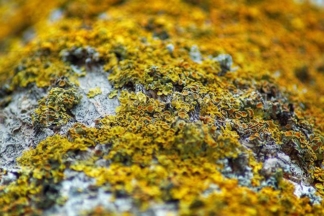 Lichen Detail [enlarge]