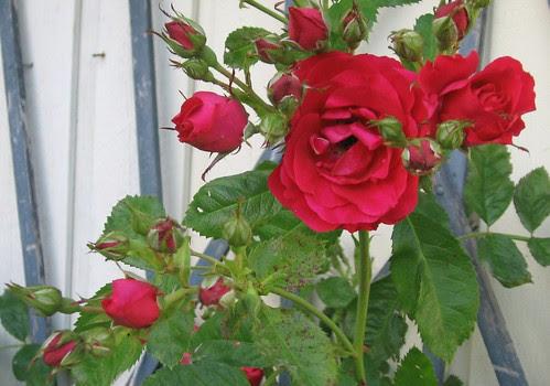 Hagen i juli - roser