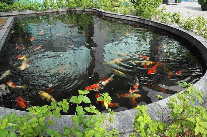 Kualitas Air untuk Ikan Koi?