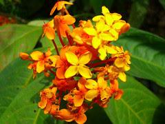 MacRitchie - Flower