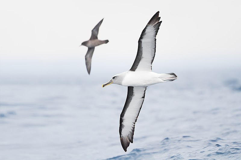 File:Thalassarche bulleri in flight 1 - SE Tasmania.jpg