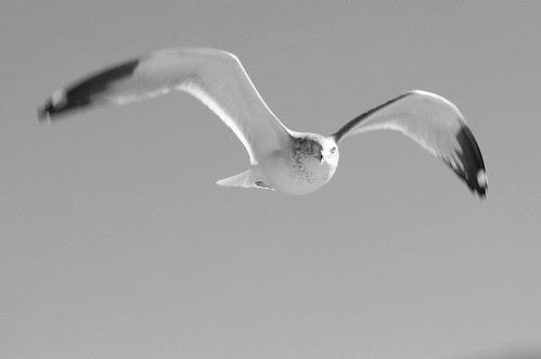 Seagull B&W