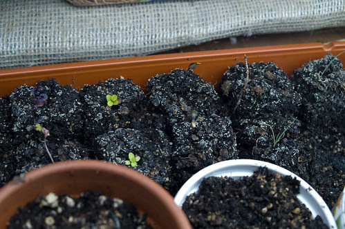 unhappy soil block seedlings