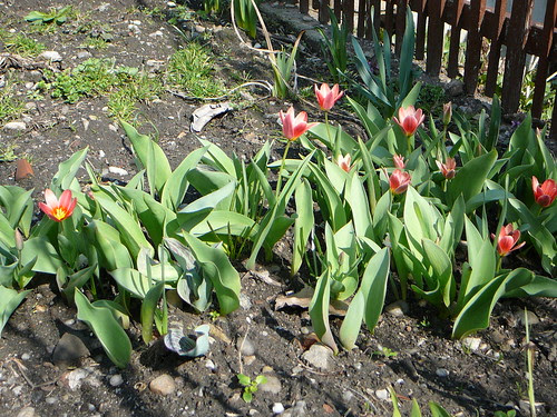 Tulpen (05)