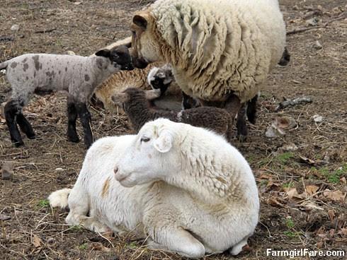 Curious little lambs (6) - FarmgirlFare.com