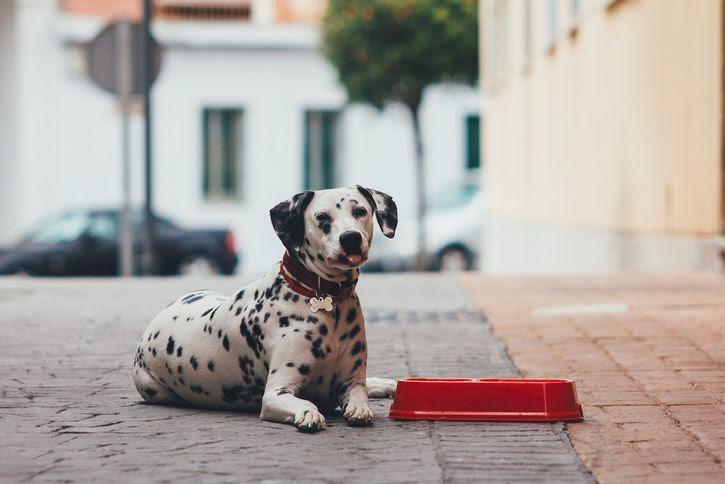 dalmata perro en calle