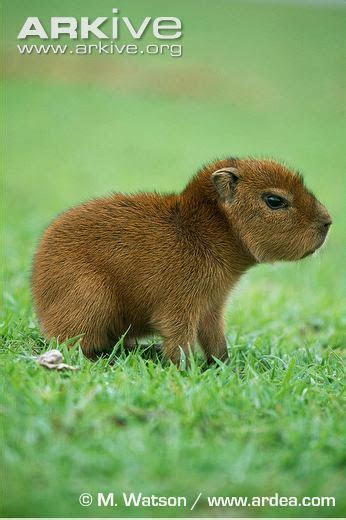 Capybara photo   Hydrochoerus hydrochaeris   G42960   Arkive