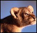 Image lionceau regarde maman-photo nature