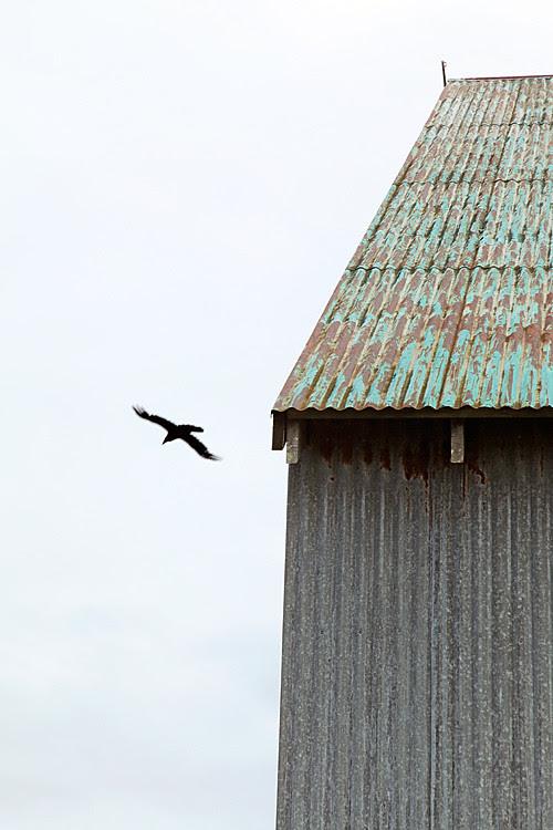 raven flying, Craig, Alaska