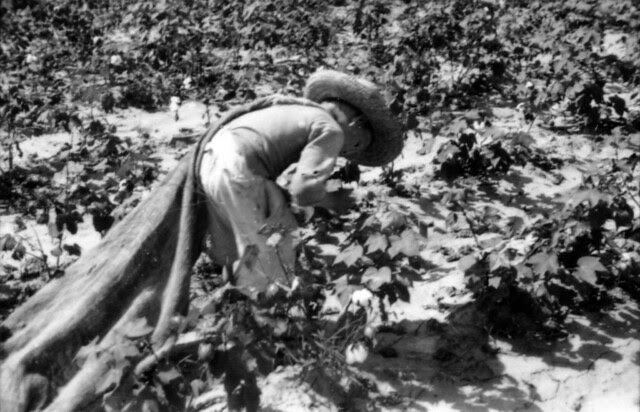 A young boy, Elroe Lawrence, picks cotton