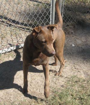 Daisy: Labrador Retriever, Dog; Varnville, SC