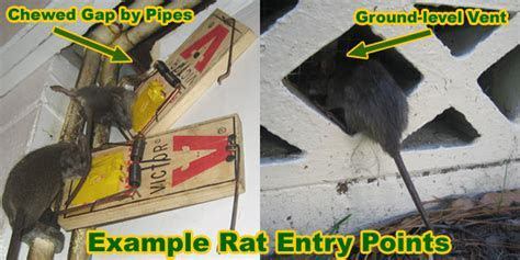 How is a Rat Getting In My House, Building, or Attic?   Rodent in Building, Inpsection
