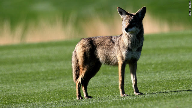 This coyote was photographed out West, but they are becoming more frequently spotted in Manhattan of all places.