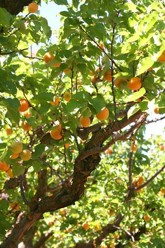 apricots galore
