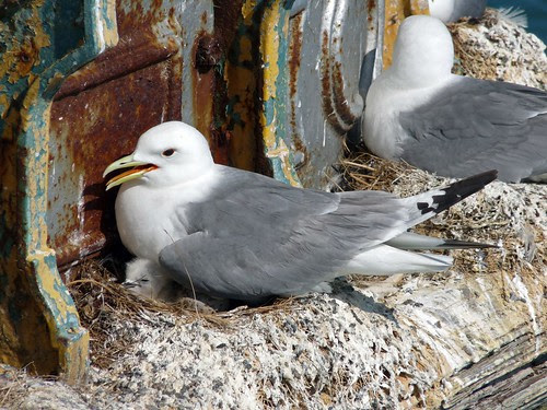 22045 - Kittiwakes on Mumbles Pier