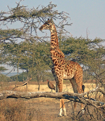 SafariAnimals-043