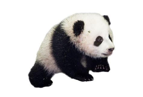 baby panda png image purepng  transparent cc png