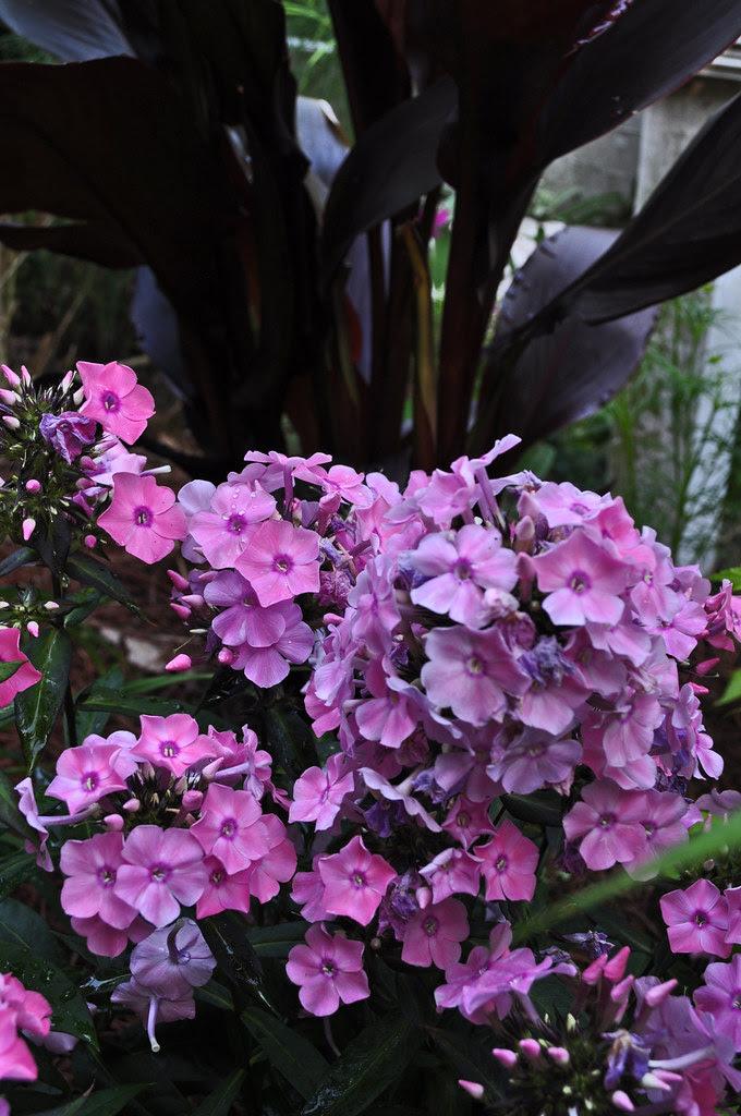 Phlox paniculata 'Coral Creme Drop'
