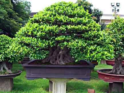 The Chinese Banyan Ficus Microcarpa
