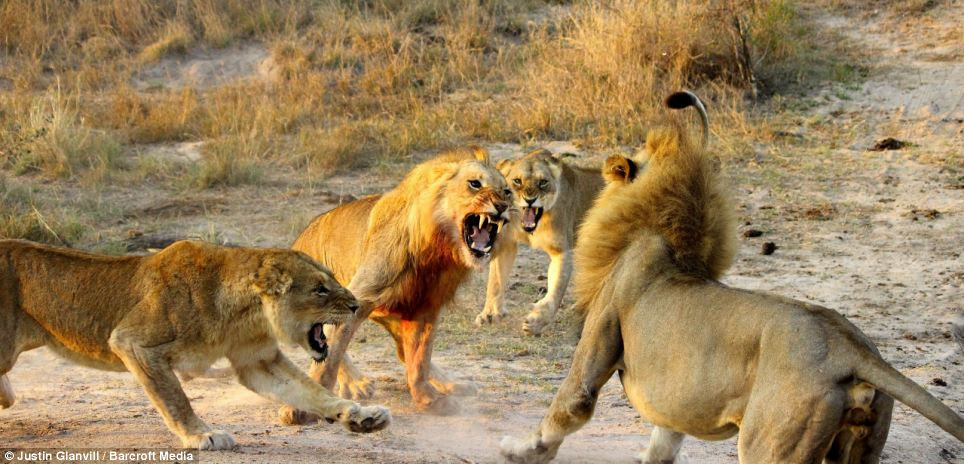 Pick on someone your own size! The three lions outnumber the older male and roar at him in unison