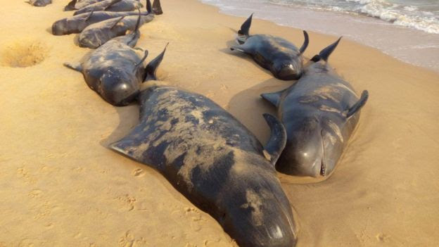 Stranded whales along the beach