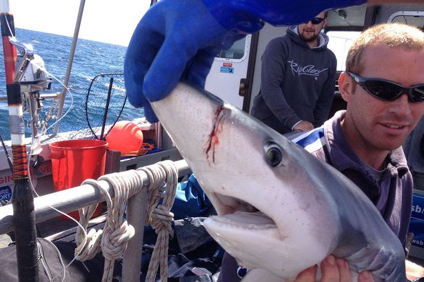 Bloodied: Blue shark on deck after being attacked by giant predator