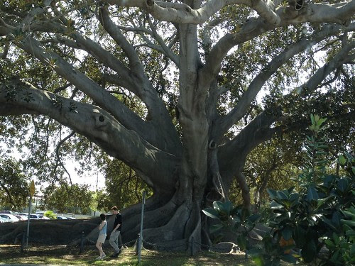 Fig Tree, Santa Barbara