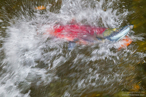 Sockeye Salmon Fighting Its Way Up the Cedar River, Renton, Washington