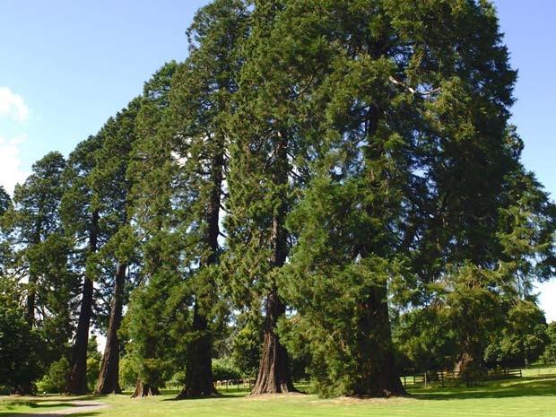 Sequoia é uma das espécies ameaçadas (Foto: Frédéric Didillon / Biosphoto / AFP)