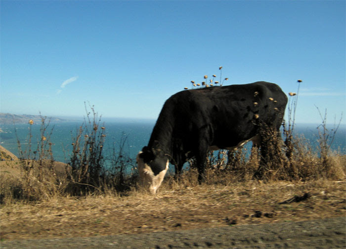 Coastal Cow 2