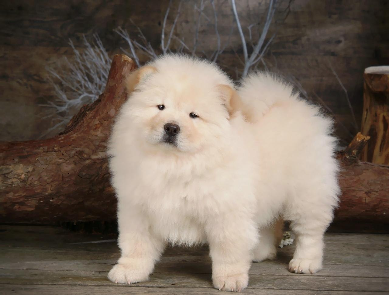 Chow Chow Puppies For Sale In Nigeria