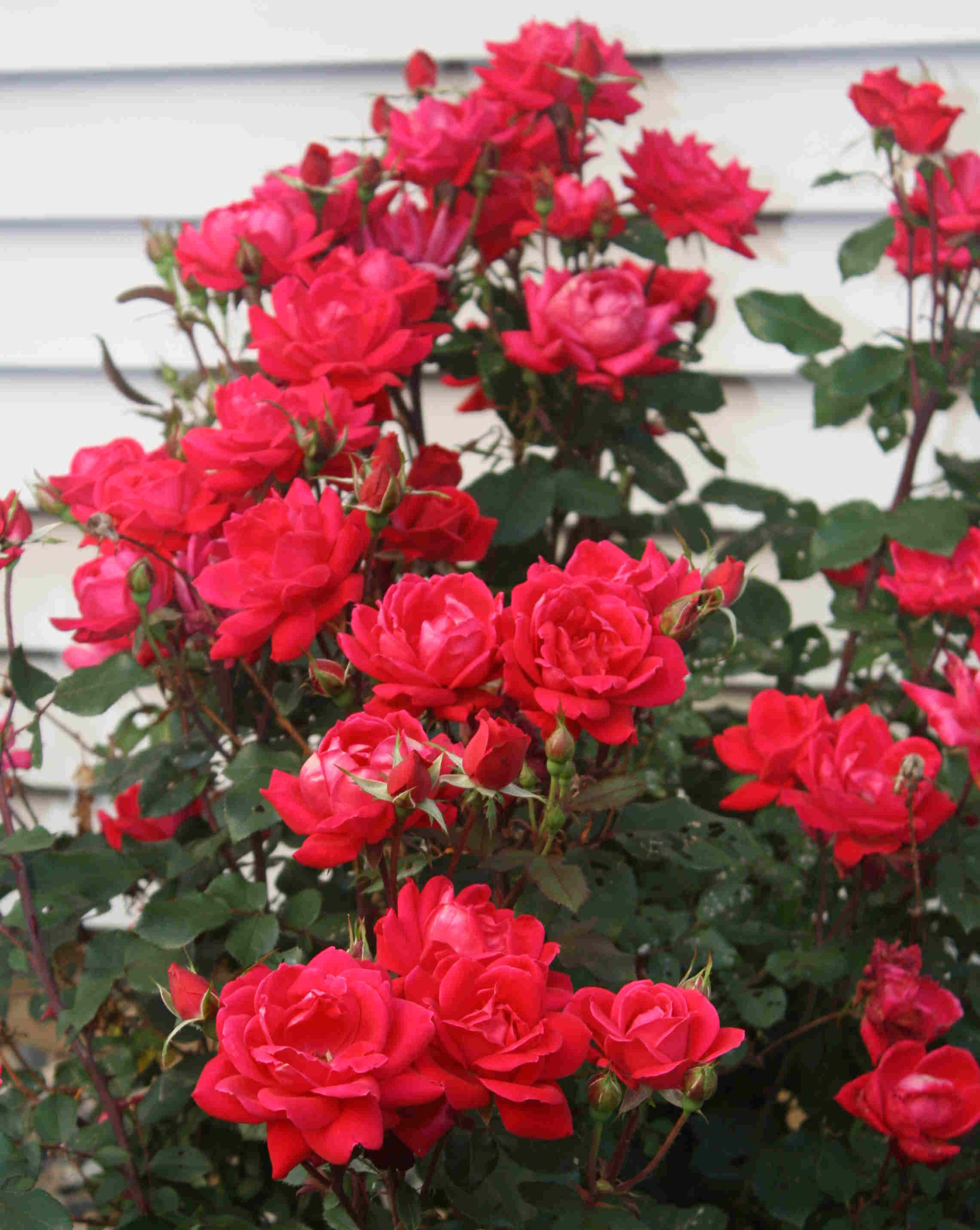 Double Knockout Roses Landscaping Ideas 44895 Loadtve