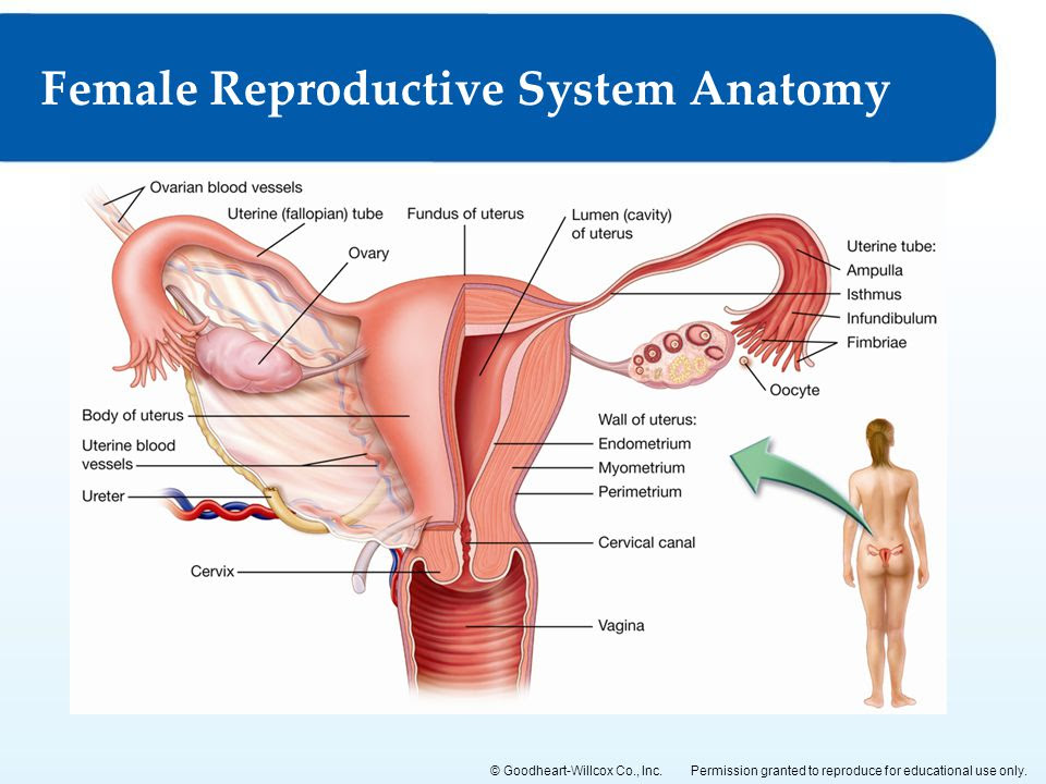 Female+Reproductive+System+Anatomy