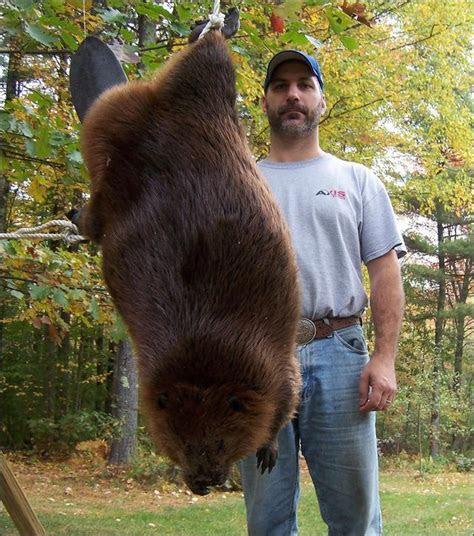 beaver attack   The NewsPhilter