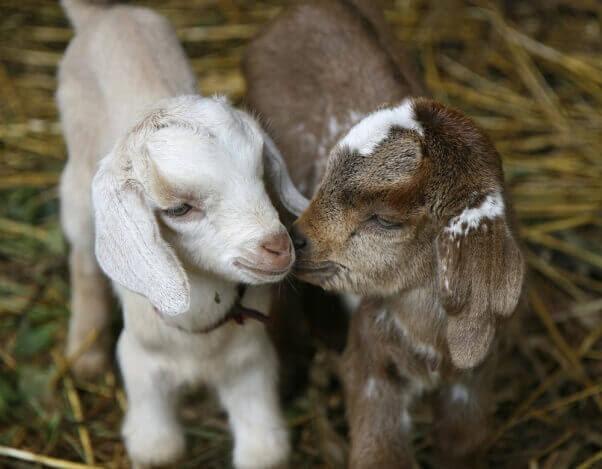 Goats-NikiTaxidisPhotography