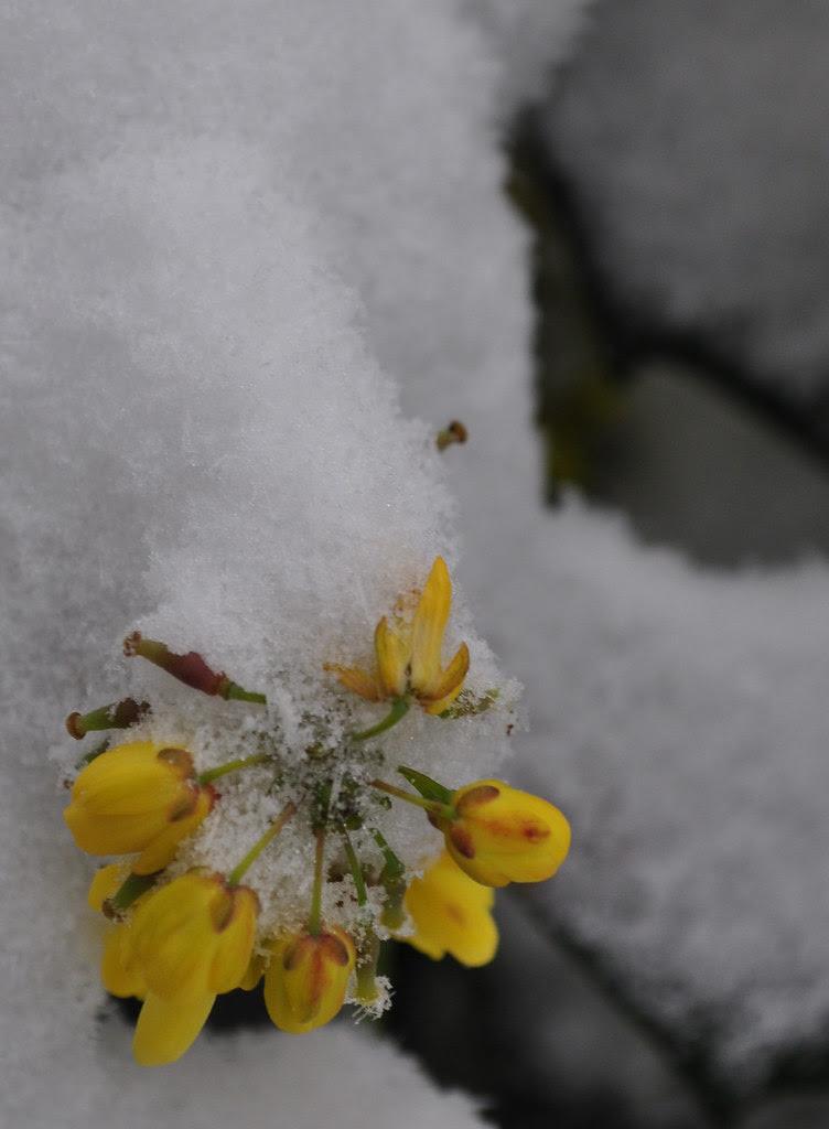 Mahonia x 'Winter Sun'