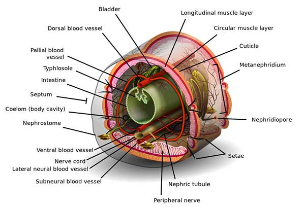 93 Gambar Anatomi Cacing Tanah Paling Bagus