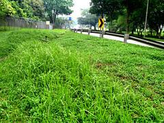 Grass at Choa Chu Kang Road