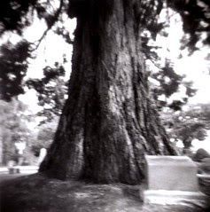 grandfather cedar