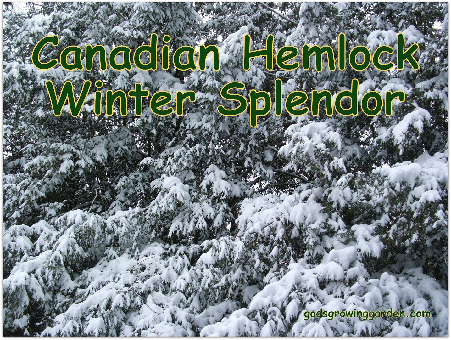 Canadian Hemlock by Angie Ouellette-Tower for godsgrowinggarden.com photo 008_zps9b034607.jpg