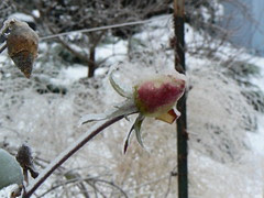 Another frozen rosebud
