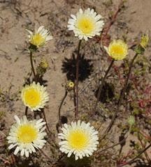 desert dandelion - malacothrix californica