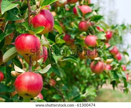 stock photo : Red apples on apple tree branch